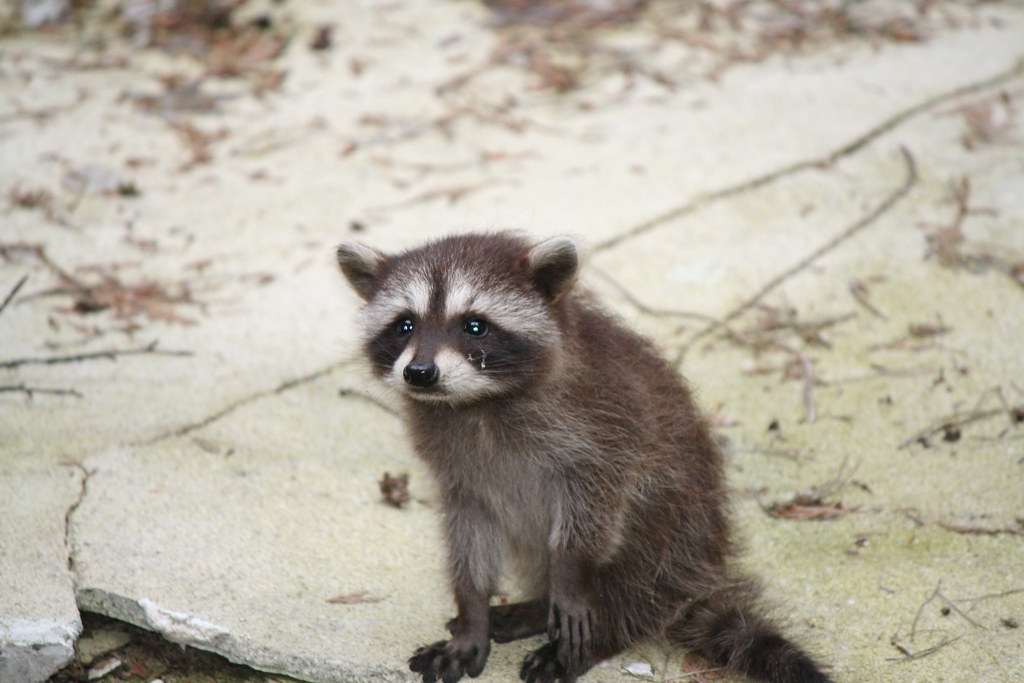 free hq baby raccoon - photo #5