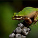 California Pacific Tree Frog (Pseudocris regilla)
