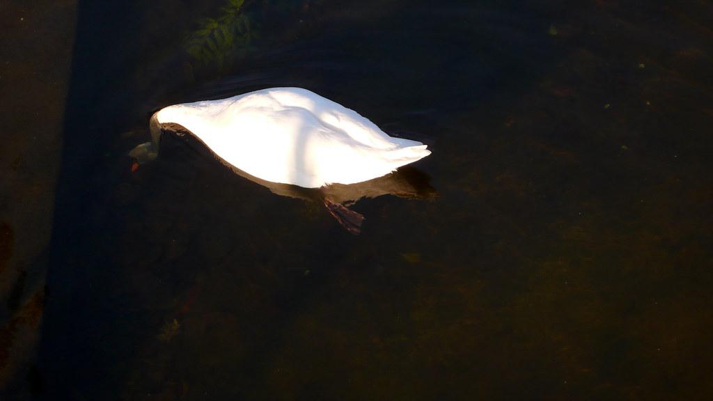 Clermont ferrand 101 swan in jardin lecoq katchooo for Jardin lecoq
