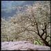 柳家梅園 Plum Blossom garden