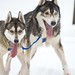 Kandersteg Sledge Dog Races 2012