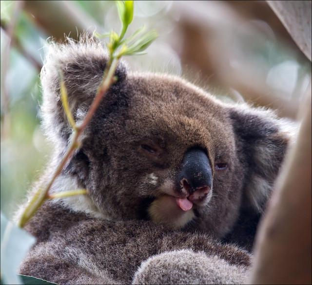 Stoned-out Koala Displays Feelings Towards the Photography ...