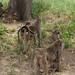 Baboon families