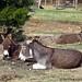 Donkey hangovers 2