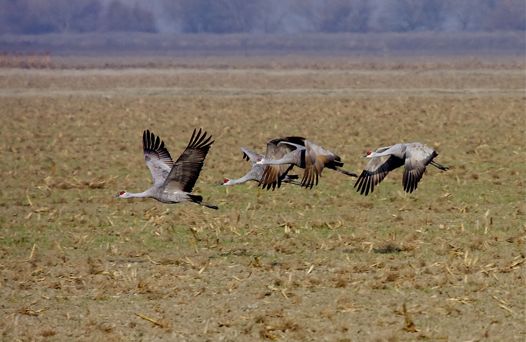 Sandhill cranes pixley national wildlife refuge ca for California department of fish and wildlife jobs
