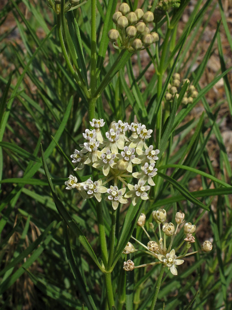 Asclepias subverticillata, Colorado River, Lower Glenwood ...