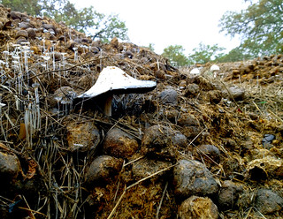 Mushrooms in the manure pile | by Jilroy Frosting Psmith