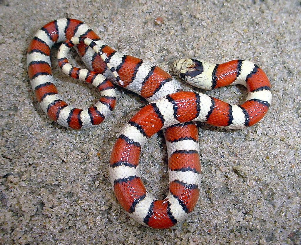 Juvenile Pale Milk Snake - Nebraska   Just a screamer ...