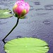 A Lotus Blossom in the Soft Summer Rain