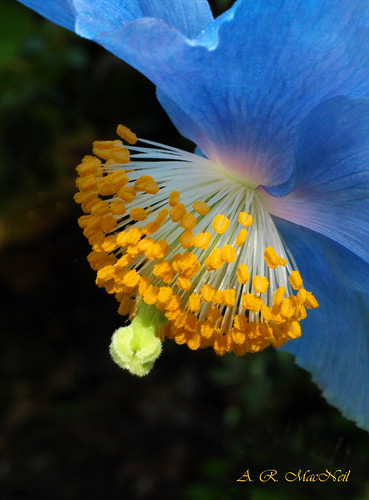 Himalayan Poppy 4 - Vancouver, British Columbia | by Barra1man (Alan)