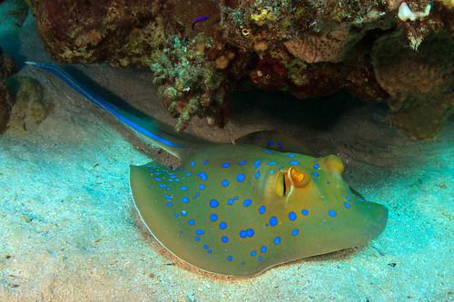 Blue spotted stingray by david a kneale for Is a stingray a fish