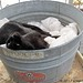 Mr. Midnight snuggled up in a vintage galvanized tub in the greenhouse 3