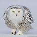 Snowy Owl 2010
