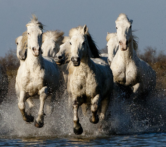 group of camargue horses galloping through water 2