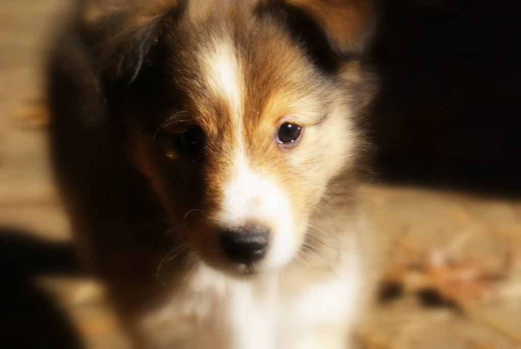 For Sale Sign Picture >> sheltie puppies for sale | Nicole Mountz | Flickr