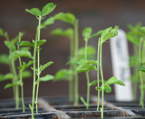 Pinched Out Sweet Pea Seedlings | Sweet pea seedlings ...