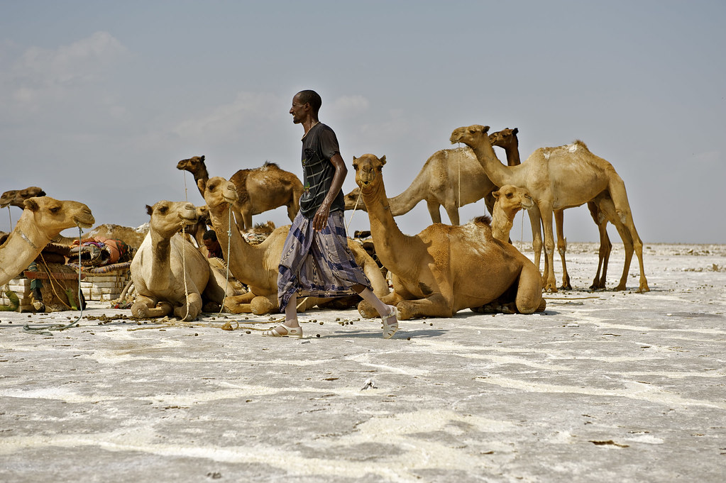 organizing salt caravan - Danakil, Ethiopia