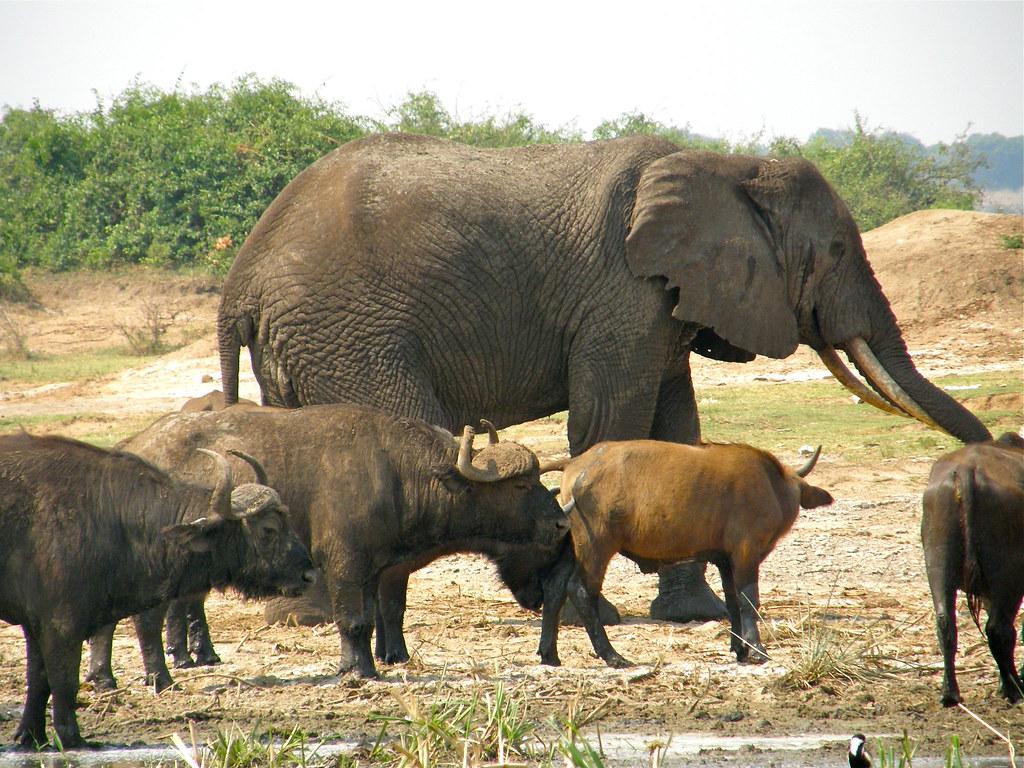 E Buffalo Channel Elephant & Cape Bu...