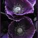 Purple Poppies  1 .#90 Purple