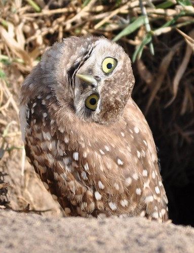 Burrowing Owl Head Tilt Isn T This Juvenile Burrowing