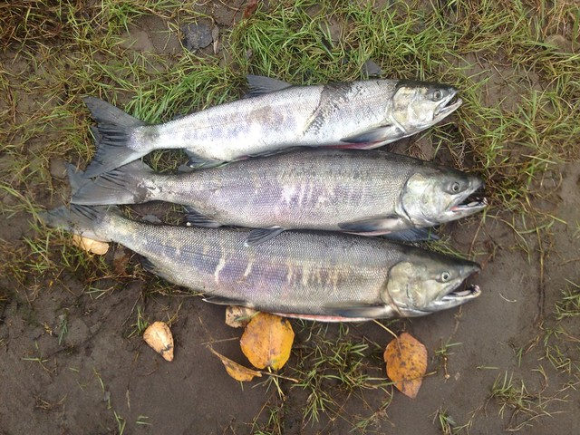 Puyallup chum salmon flickr photo sharing for Puyallup river fishing