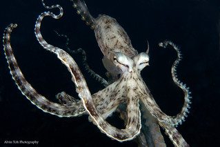 Mimic Octopus | by Alvin Toh