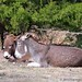 Donkey hangovers 1
