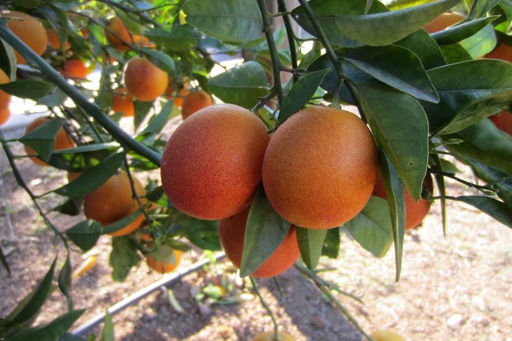 Sanguinelli Blood Orange | Sanguinelli (Citrus sinensis (L ... | 1024 x 683 jpeg 158kB