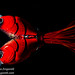 Supernato Lure by Molix. Tank shot with mirror reflection, black background