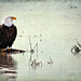Bald Eagle in flooded rice field
