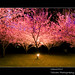 夜櫻下(Night Sakura)