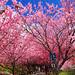 台中 武陵農場 櫻花