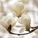 magnolia in Kamakura, Japan