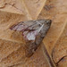 March Moth. Alsophila aescularia