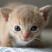 Fawn Kitten 2