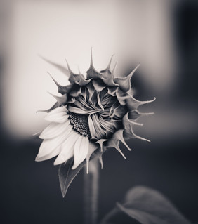Sunflower | by Dreams of Whimsy