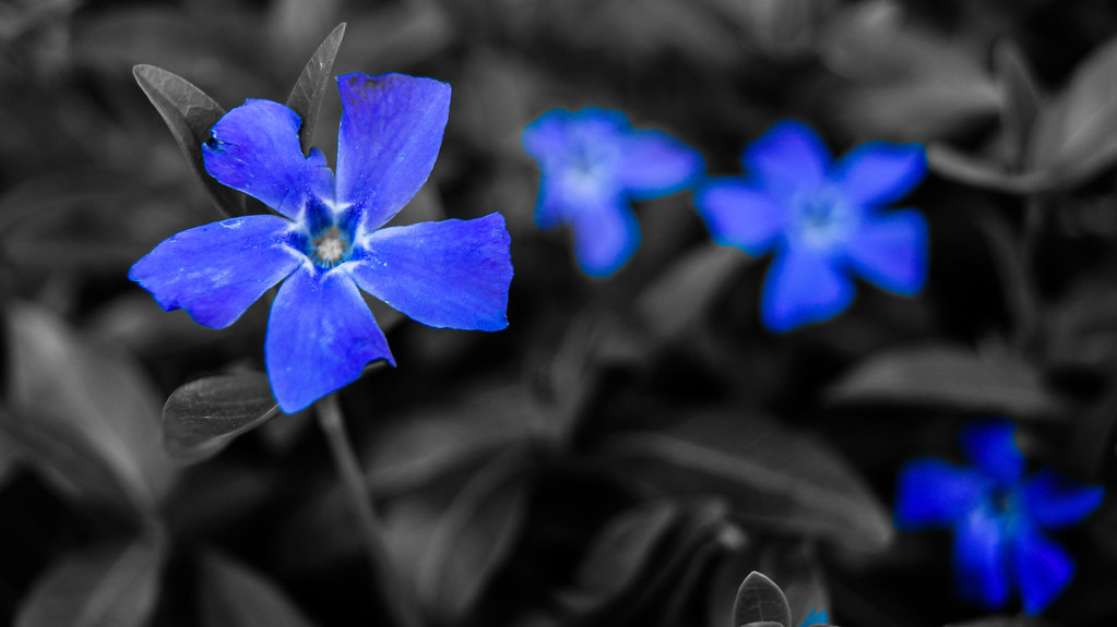 Black and White with Blue Flowers | Black and white photo ...