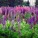 Amazing Lupines... Planted By Mother Nature.