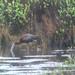 White-faced Ibis - Great Swamp, Washington County, RI - 04.23.12