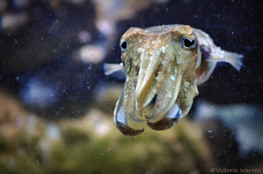 Video of male cuttlefish in vicious battle over a female