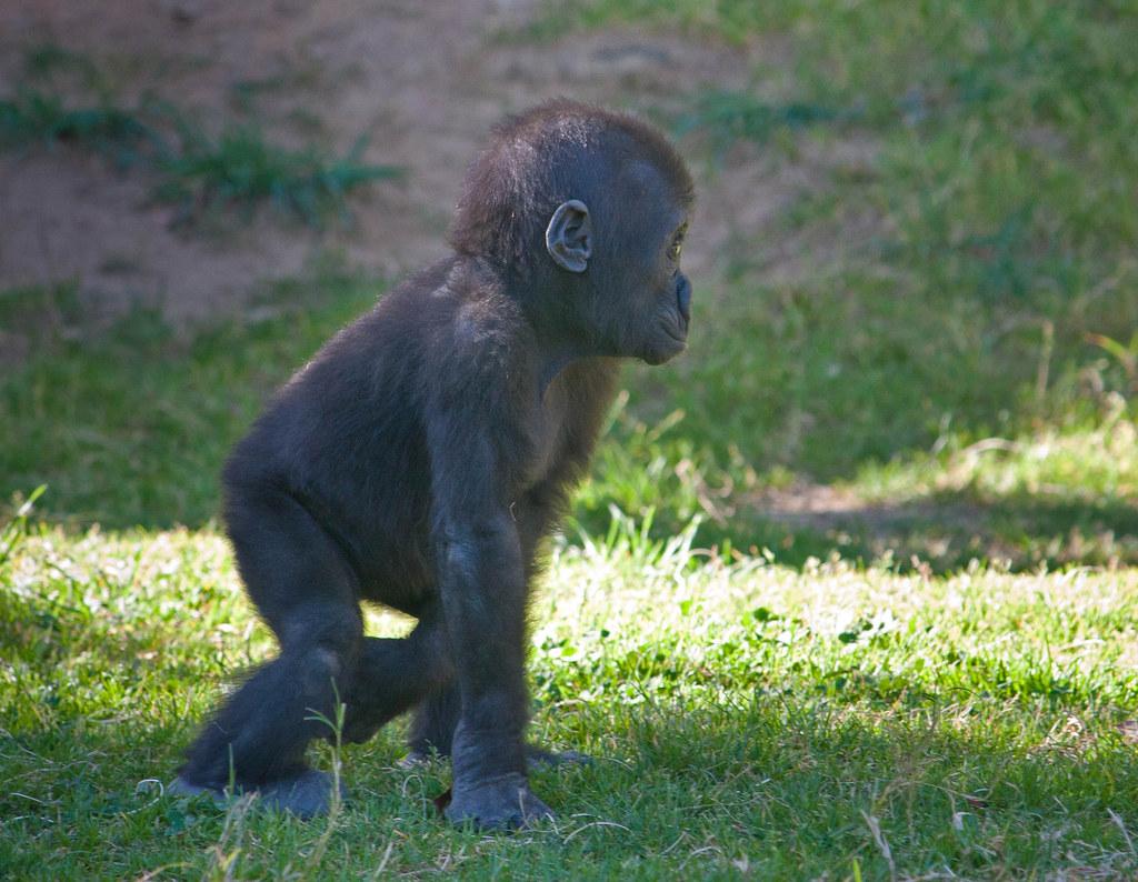 Baby male Silverback gorilla   sammibay   Flickr Newborn Silverback Gorilla