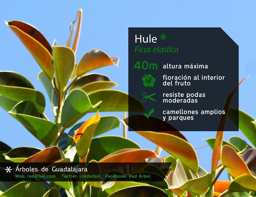 193 Rboles De Guadalajara Hule Colectivo Ecologista