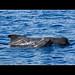 Short-finned Pilot Whale & Calf