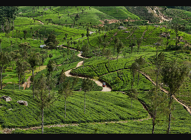Beautiful Tea Plantation Scenery Near The Lipton Seat Haputale In The Hill Country Of Sri