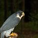 Peregrine Falcon 1232