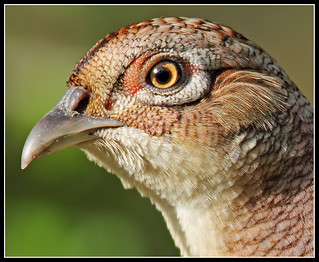 pheasant portrait....(hen) | by Paul_ McMullen