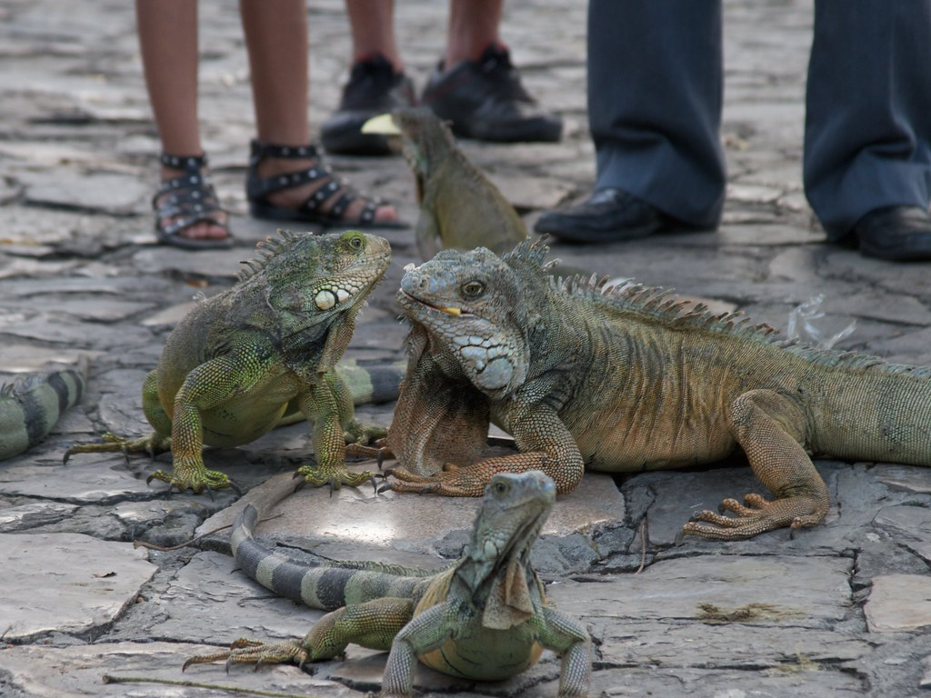 Post 2 >> Iguanas 23 | A visit to Parque de Las Iguanas, in Guayaquil,… | Flickr