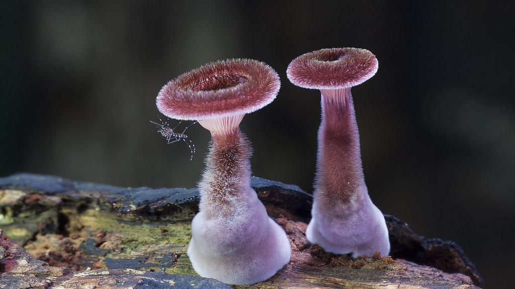 Image result for Panus fasciatus pic