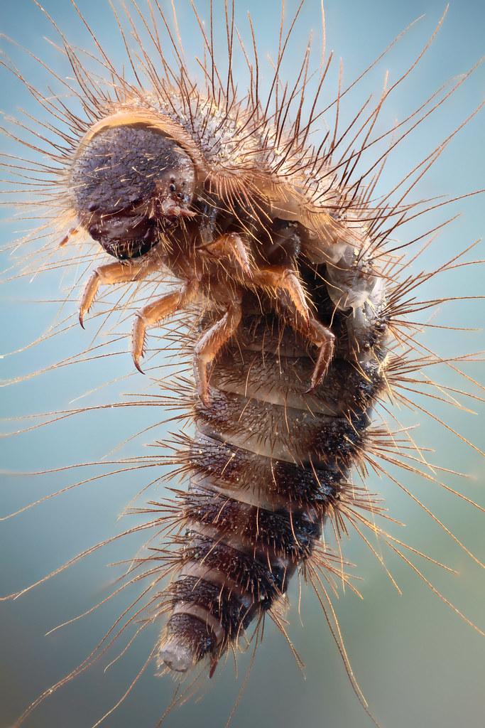 how to get rid of flesh eating beetles