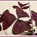Oxalis triangularis spp. Triangularis has resurrected! #1/2
